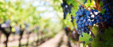 purple-grapes-553463_640